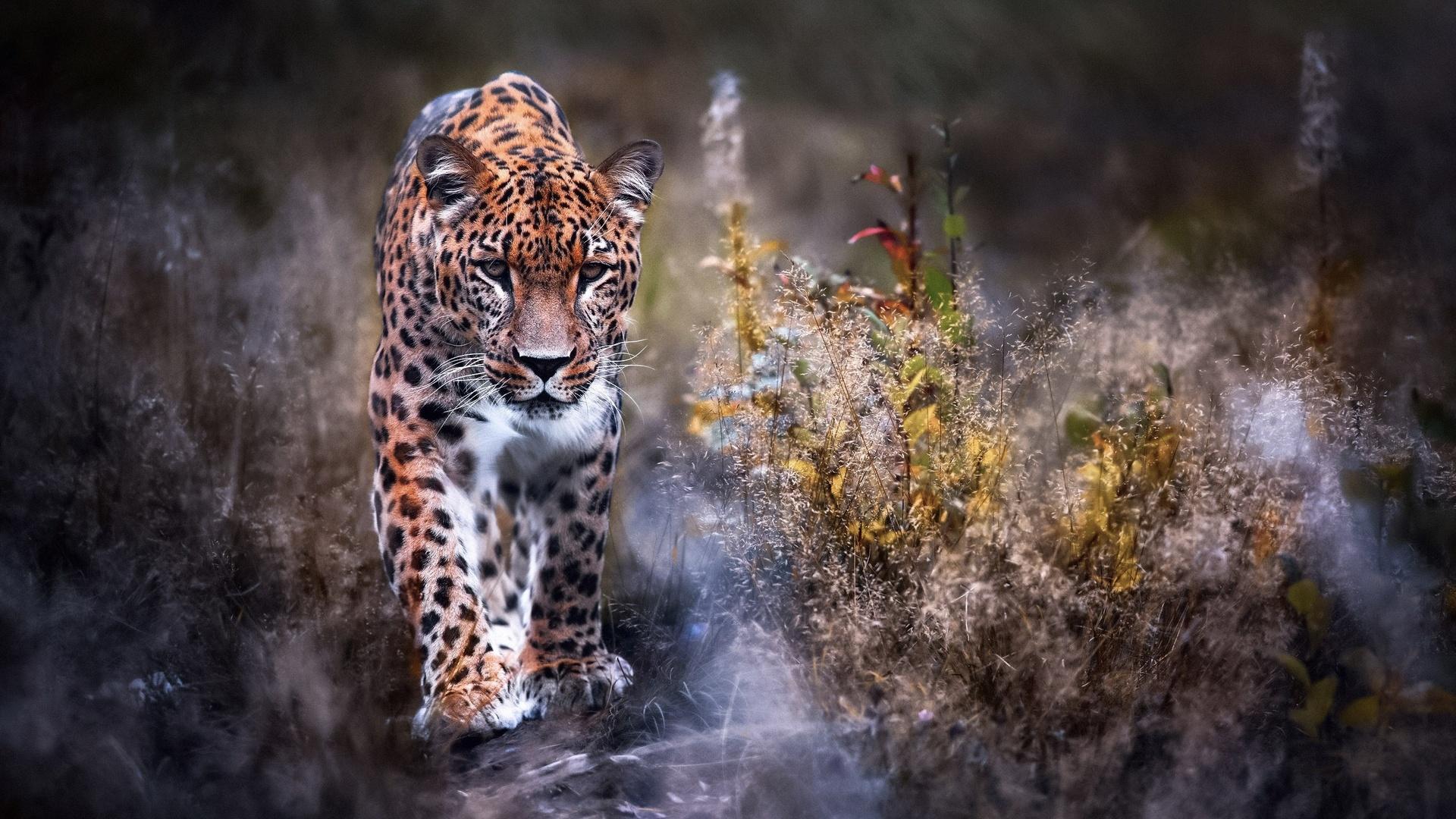 leopard-big-cat-i6.jpg