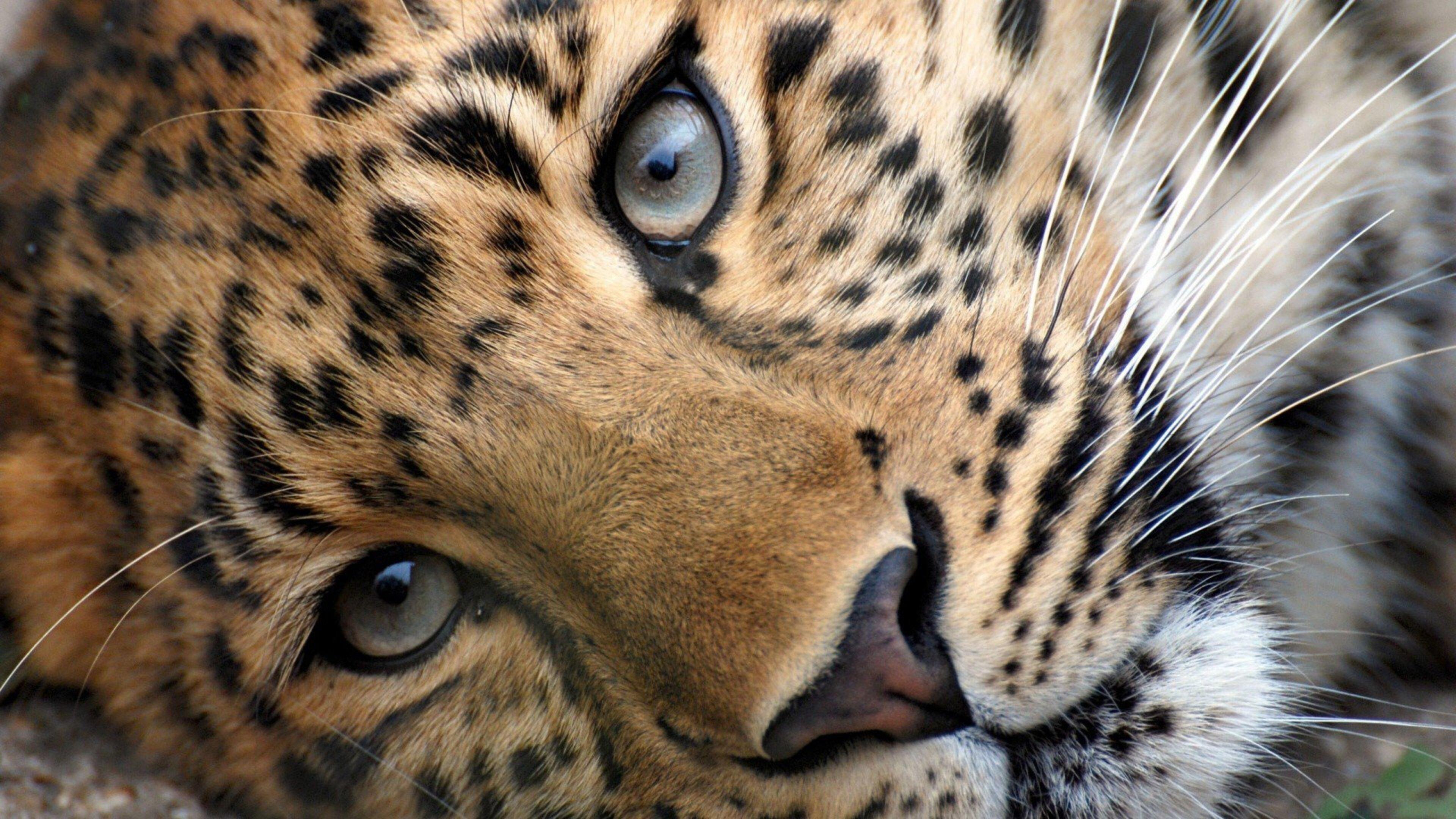 leopard-face-hd.jpg