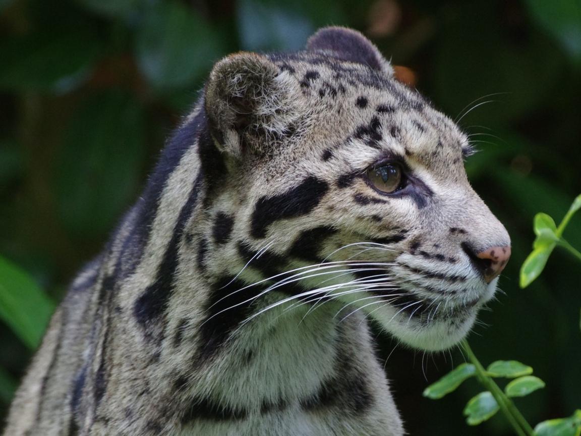 leopard-wild.jpg