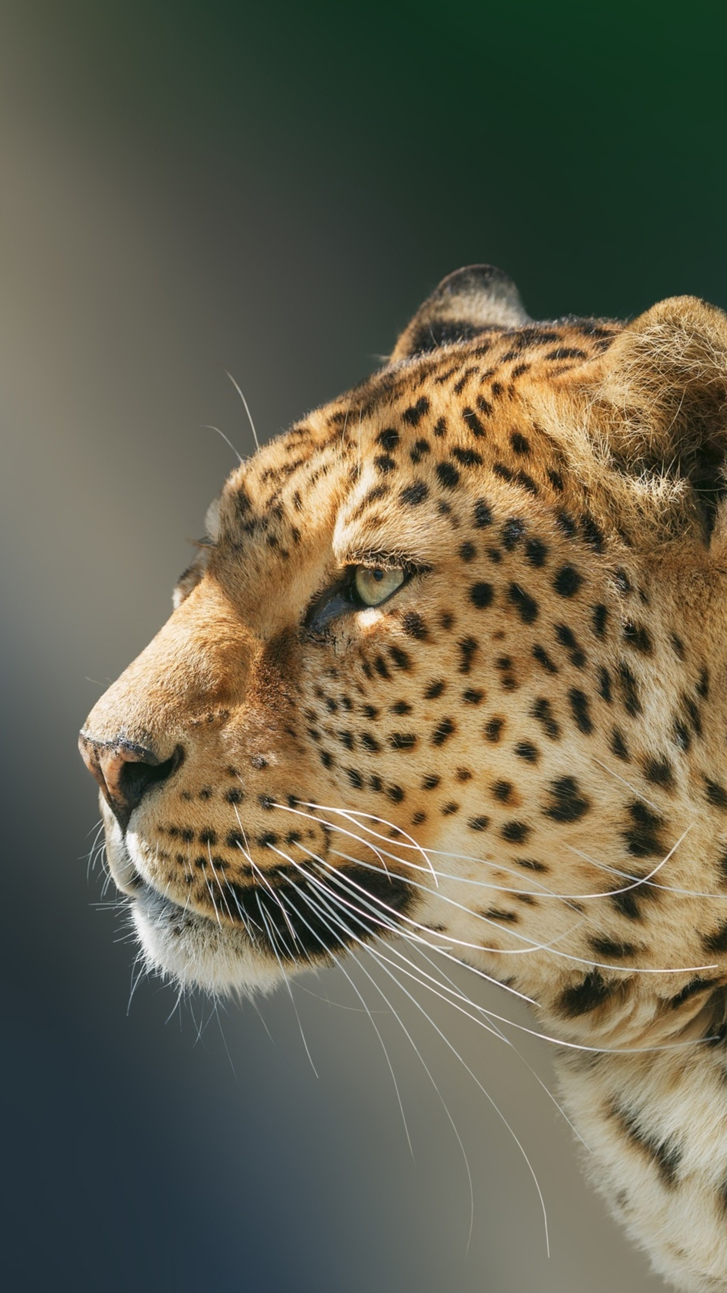 leopard-wild-animal-97.jpg