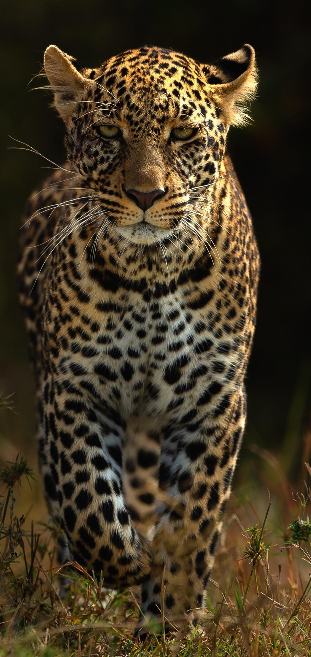 leopards-4k-bh.jpg
