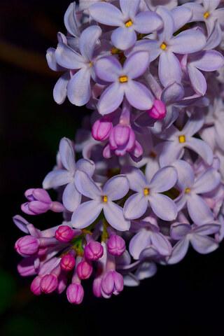lilac-flowers-sd.jpg