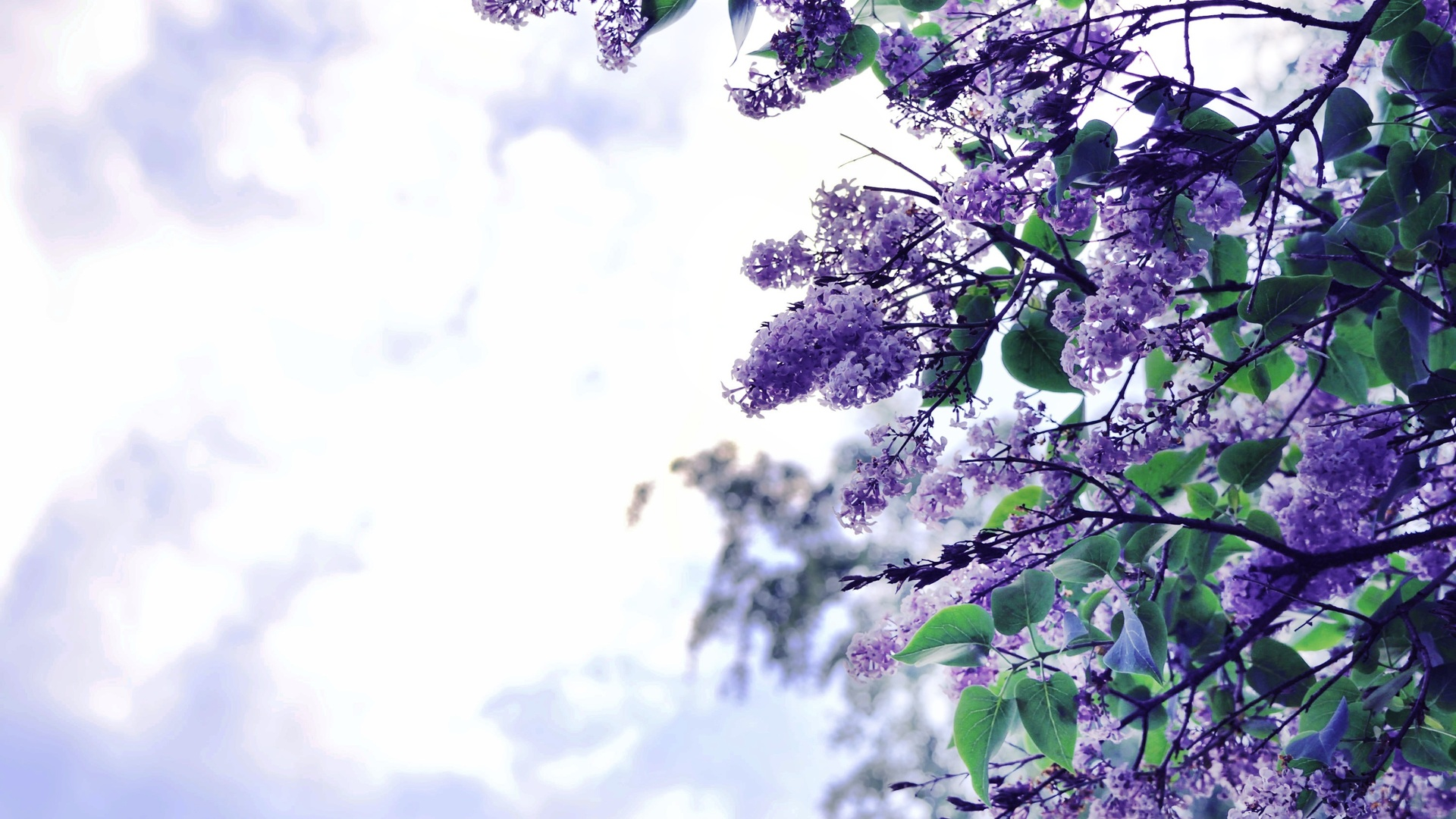 lilac-flowers-tree-mo.jpg