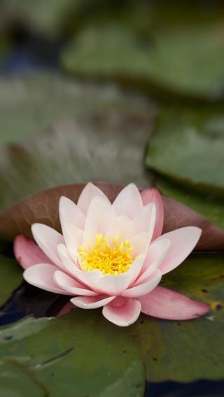 lily-flower-water-5k-sm.jpg