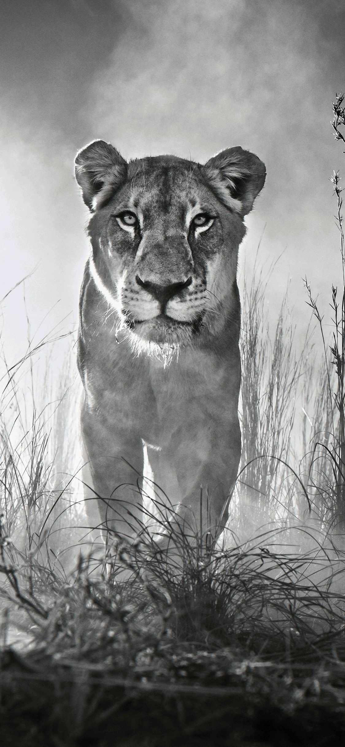 1125x2436 Lion 4k Black And White Iphone Xs Iphone 10 Iphone X Hd 4k