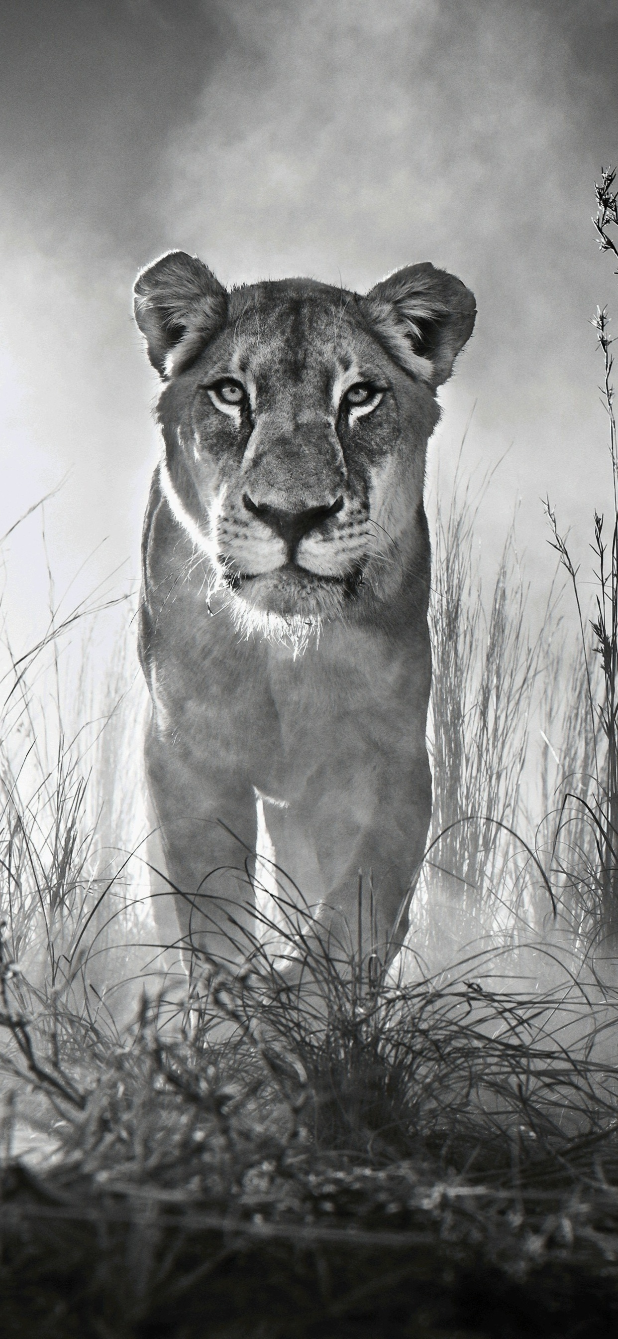 1242x2688 Lion 4k Black And White Iphone Xs Max Hd 4k