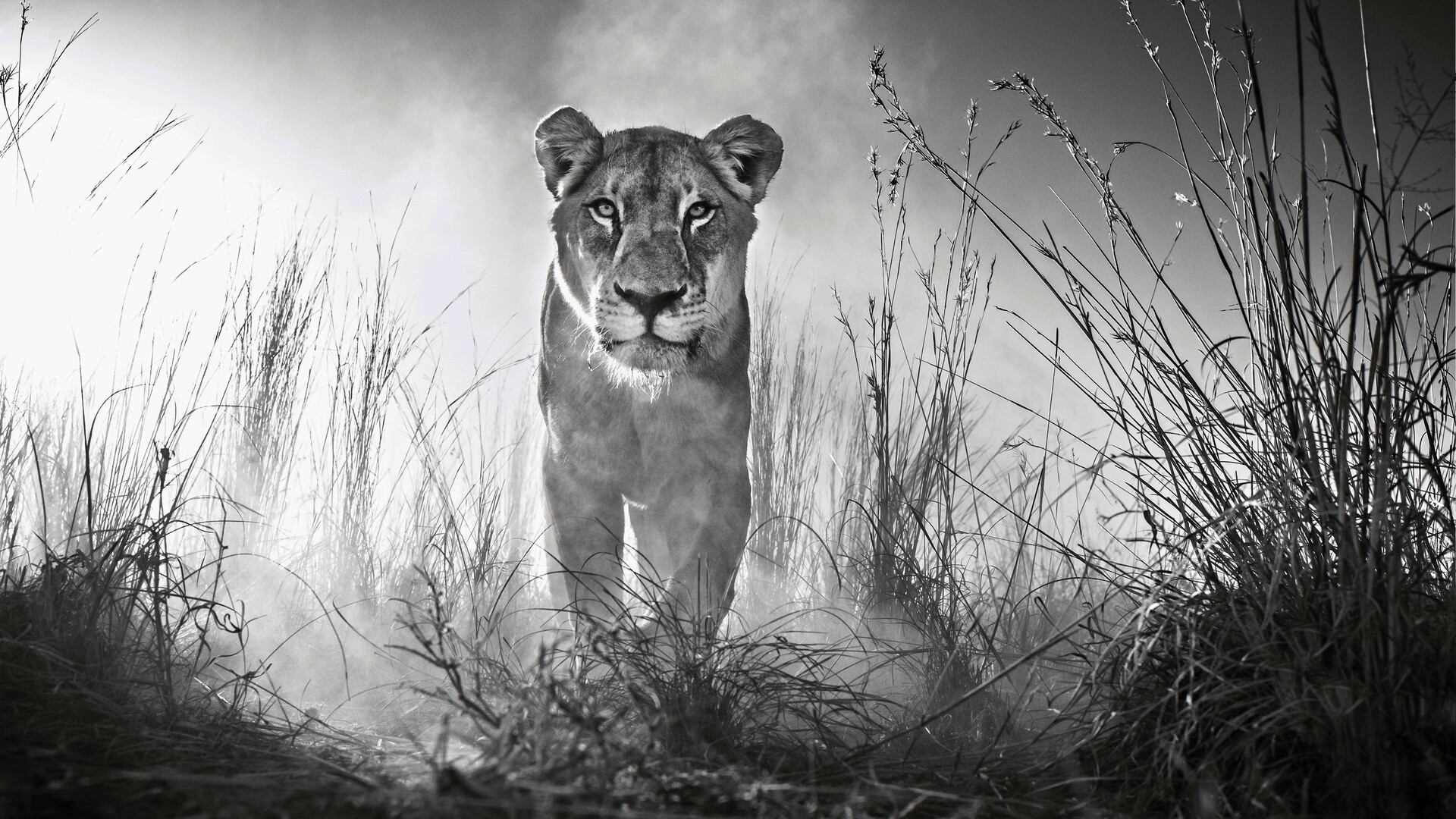 1920x1080 Lion 4k Black And White Laptop Full Hd 1080p Hd 4k Wallpapers Images Backgrounds Photos And Pictures
