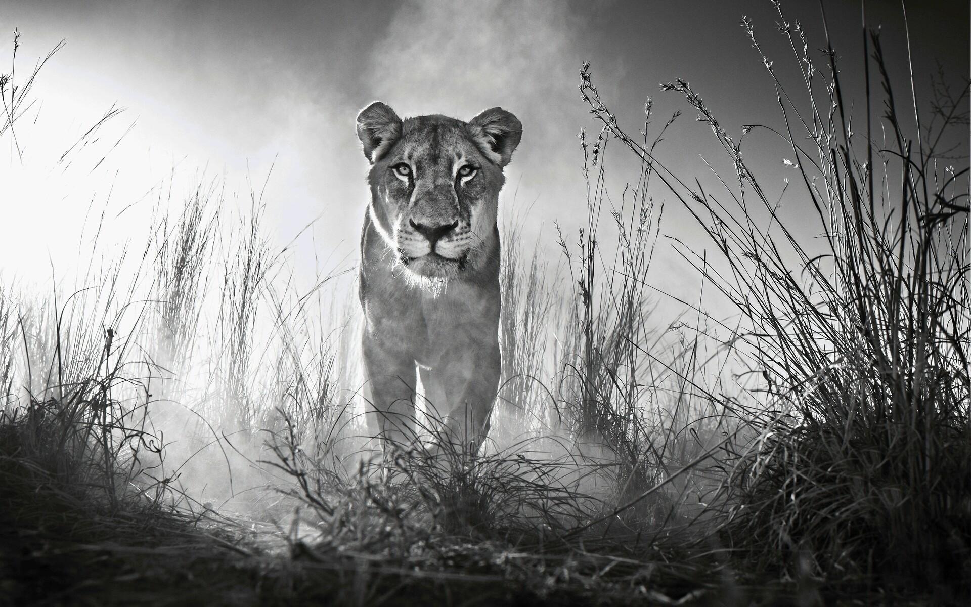 1920x1200 Lion 4k Black And White 1080p Resolution Hd 4k