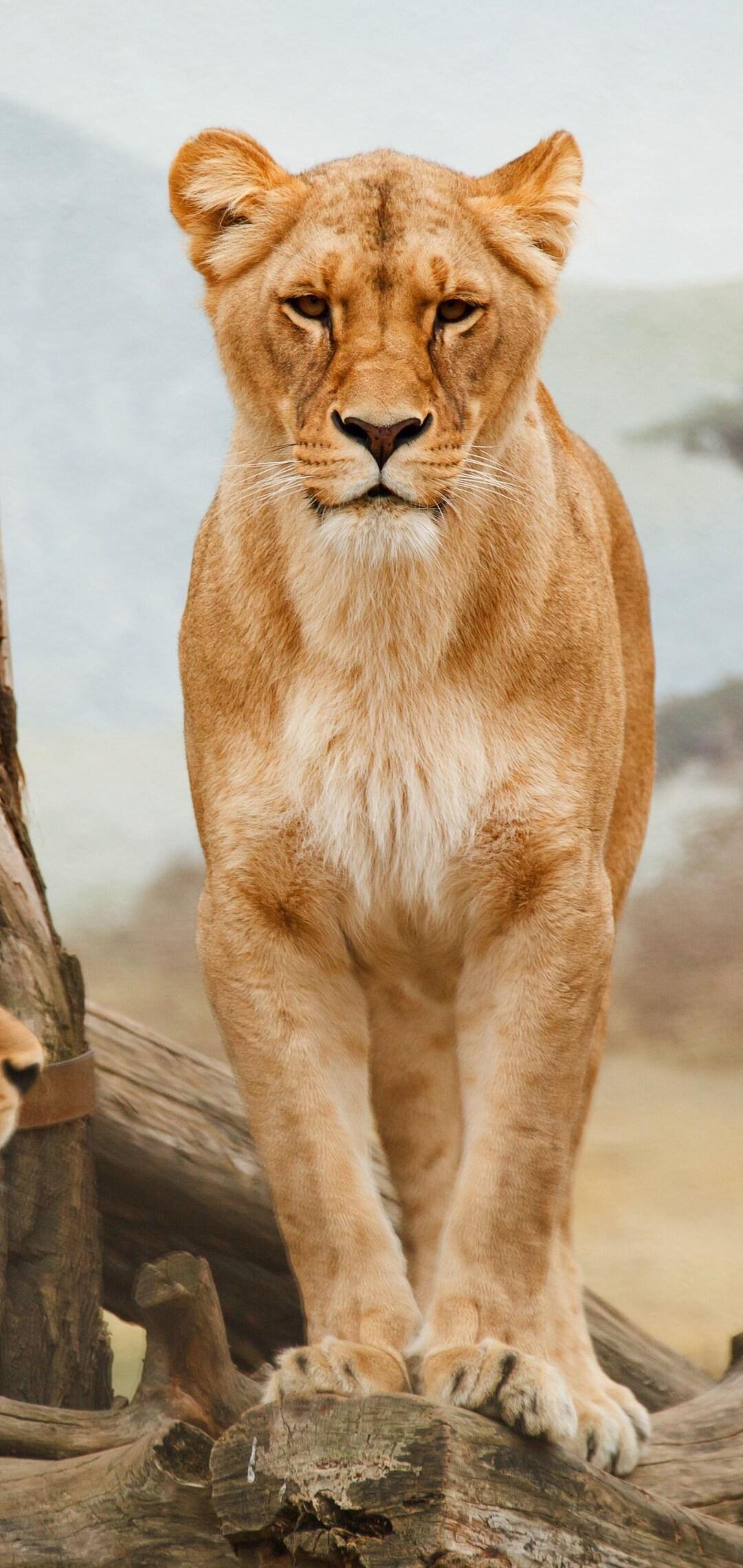 lion-5k-hd.jpg