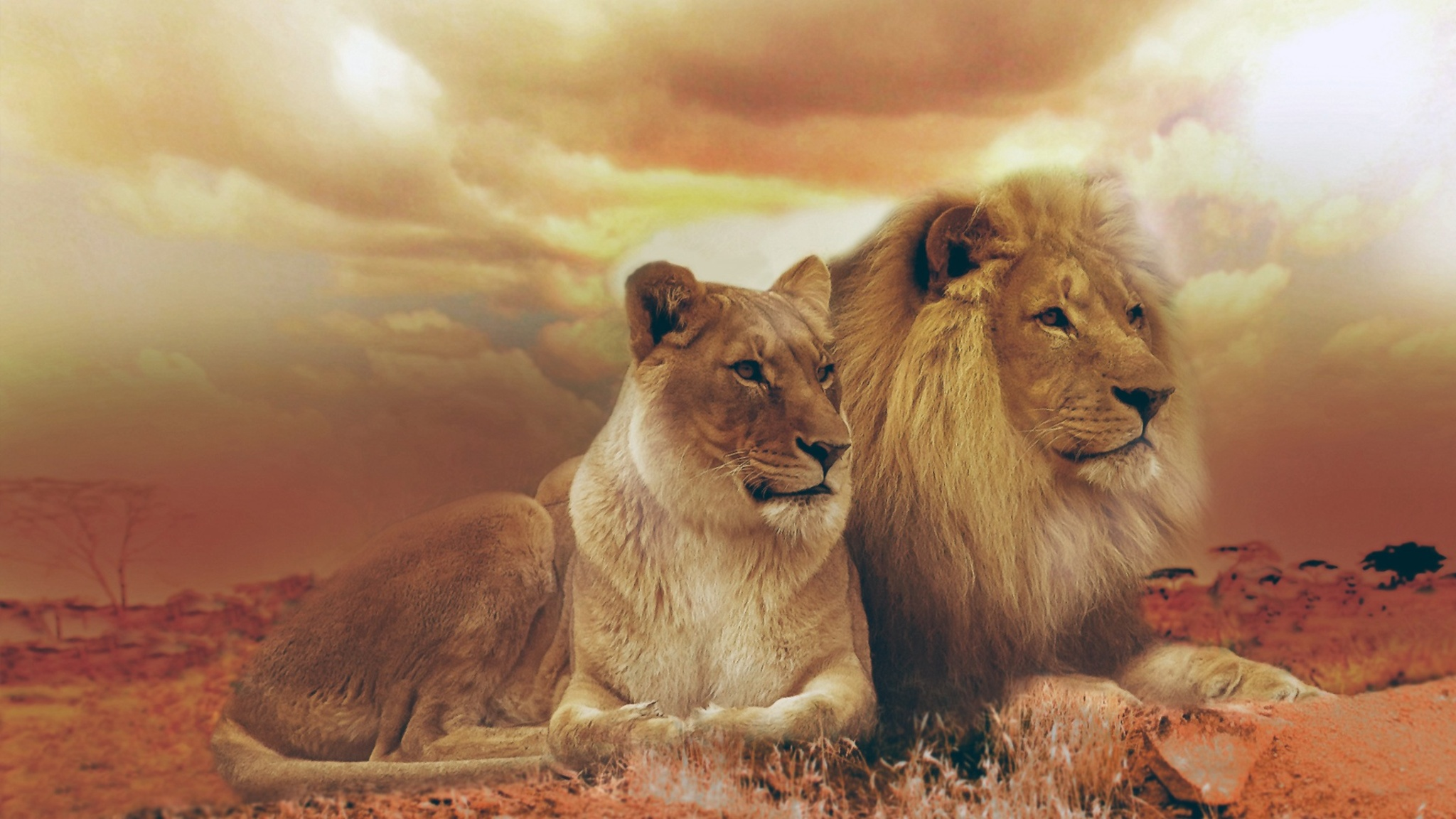 2048x1152 Lion And Lioness 2048x1152 Resolution Hd 4k Wallpapers