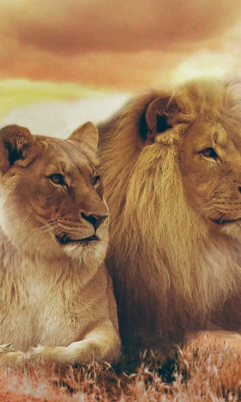 Lion and lioness love wallpaper