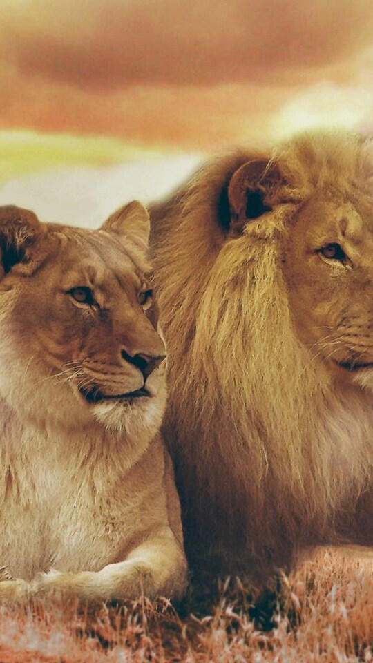 540x960 Lion And Lioness 540x960 Resolution Hd 4k Wallpapers Images