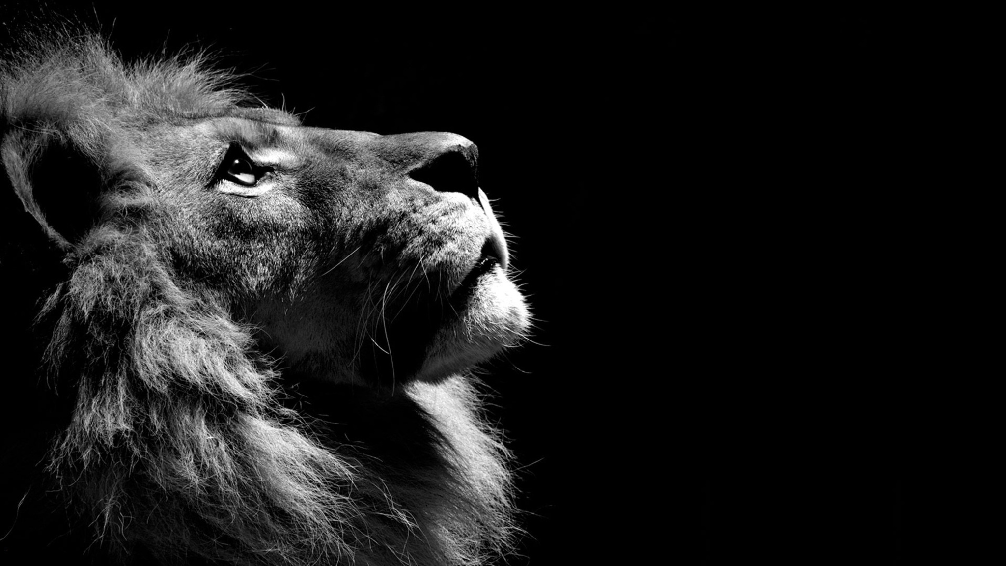 2048x1152 Lion Black And White 2048x1152 Resolution Hd 4k