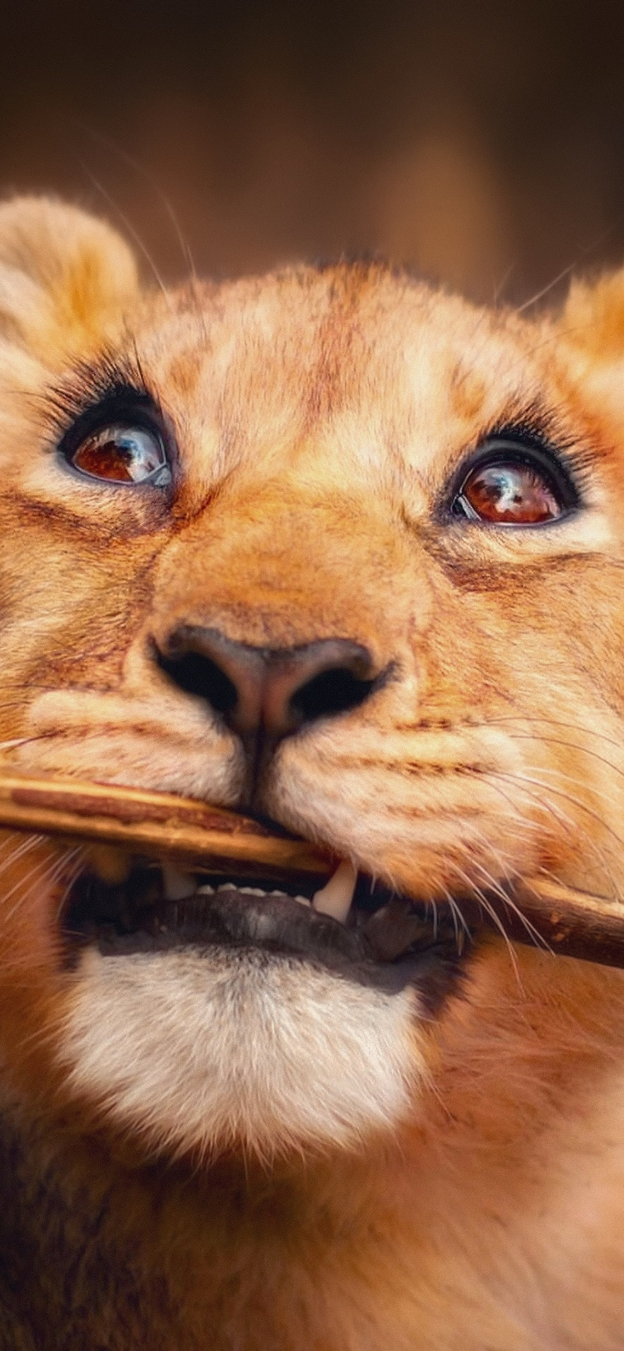 1242x2688 Lion Cub Iphone Xs Max Hd 4k Wallpapers Images