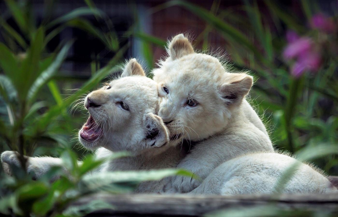 lion-cubs-playing-c8.jpg
