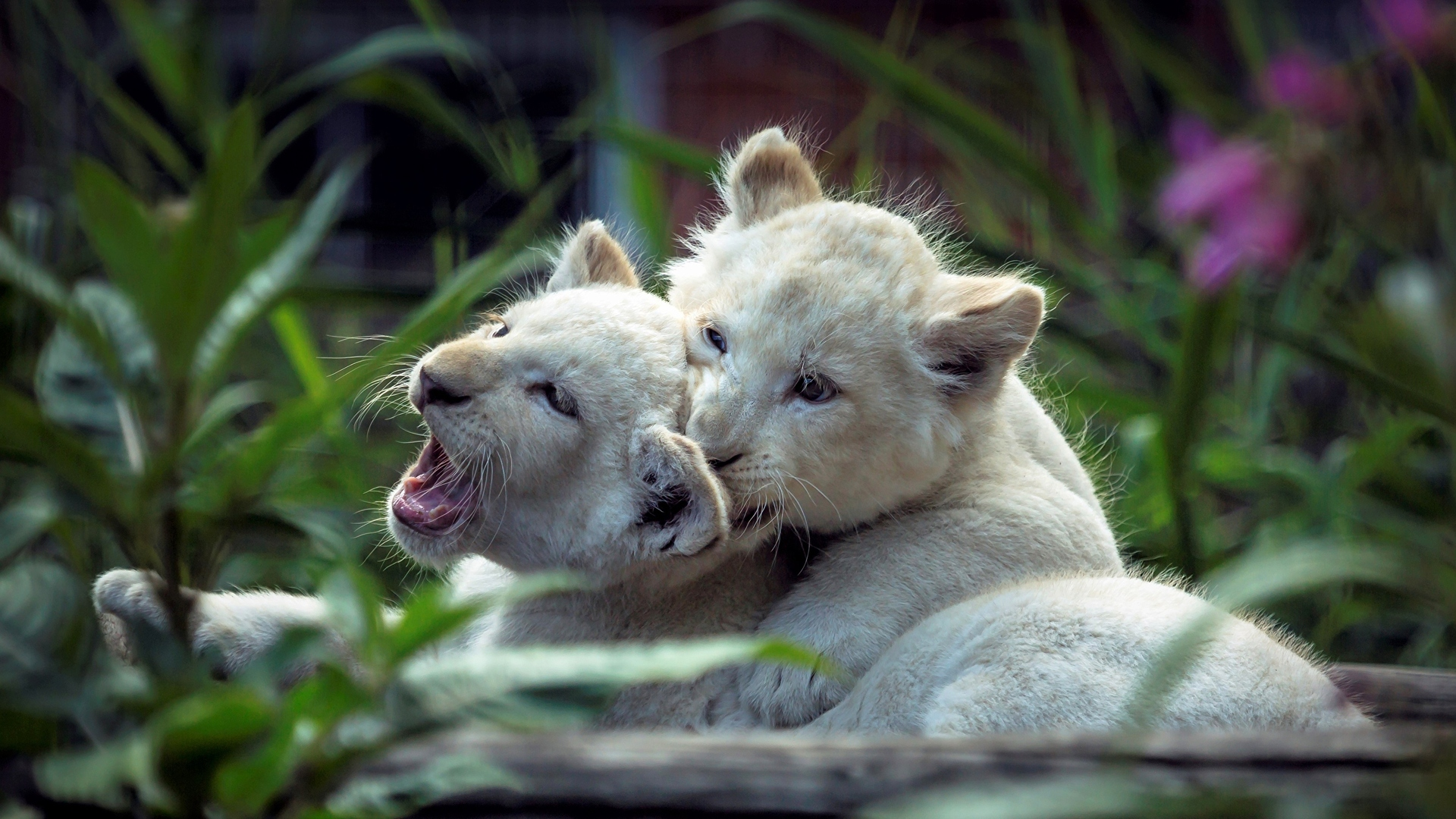 lion-cubs-playing-c8.jpg