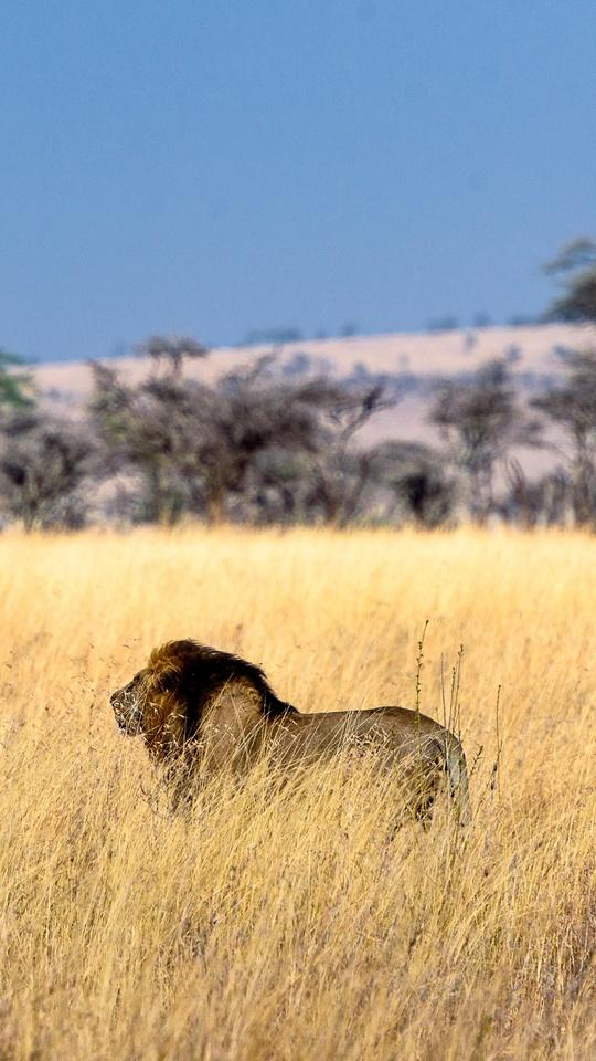lion-field-5k-ac.jpg
