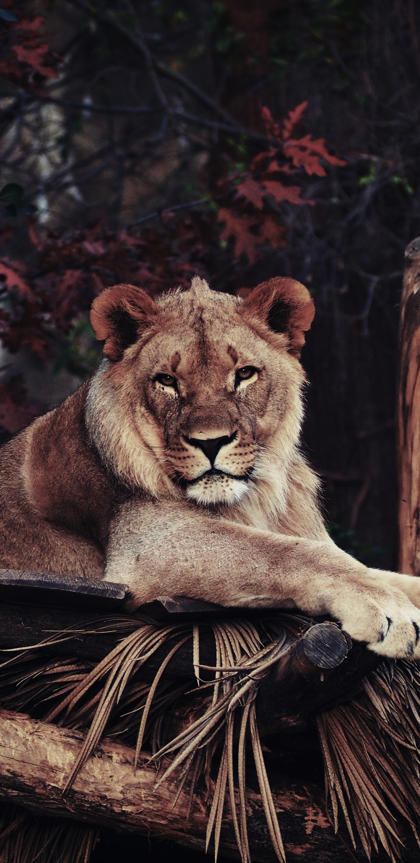 1440x2960 Lion In Zoo 4k Samsung Galaxy Note 9 8 S9 S8 S8 Qhd Hd