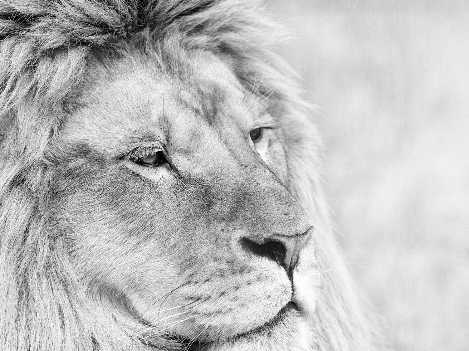 lion-monochrome-4k.jpg