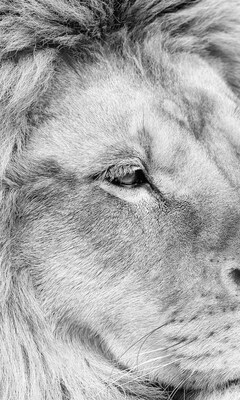 lion-monochrome-4k.jpg