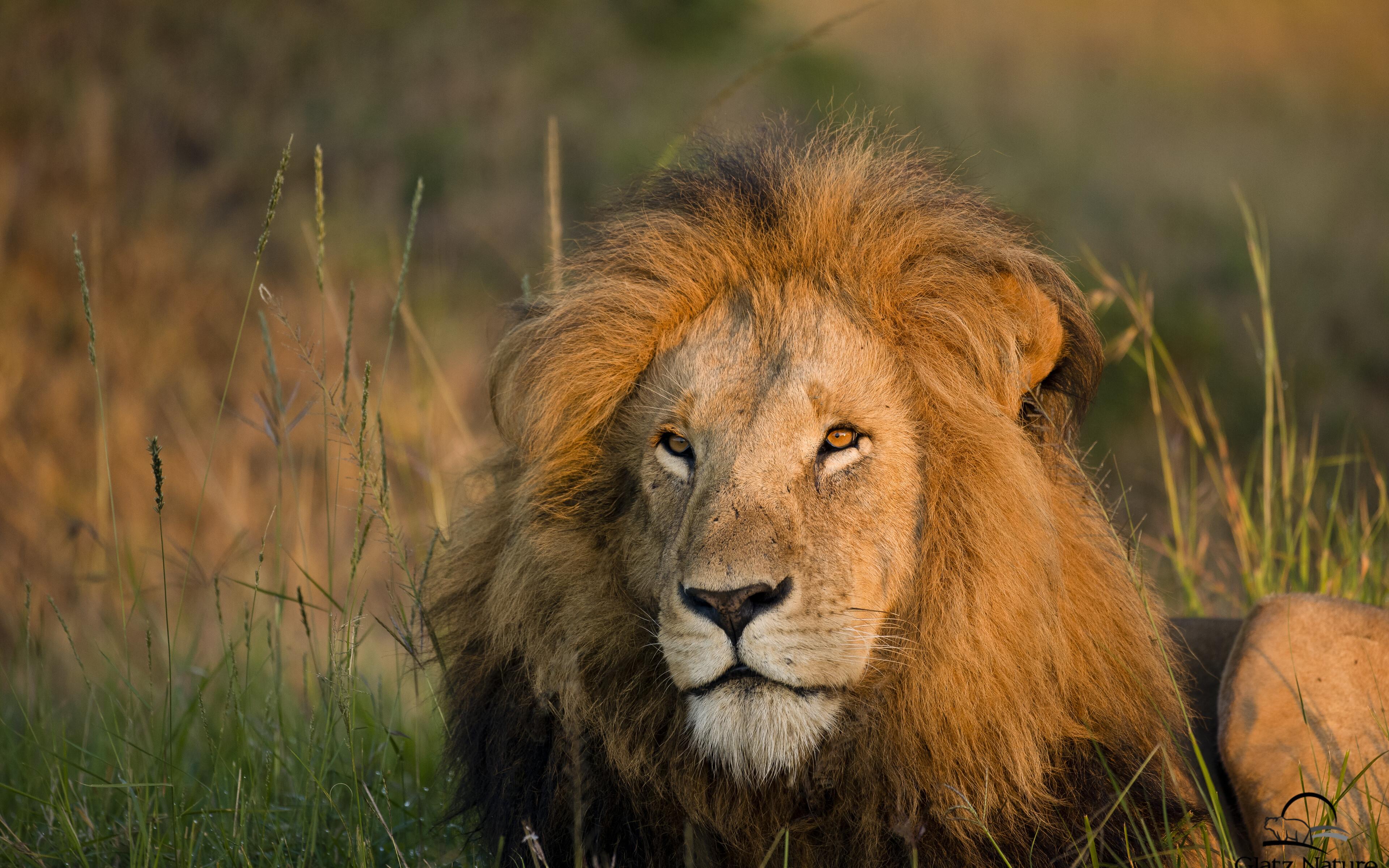 lion-morning-light-5k-yd.jpg