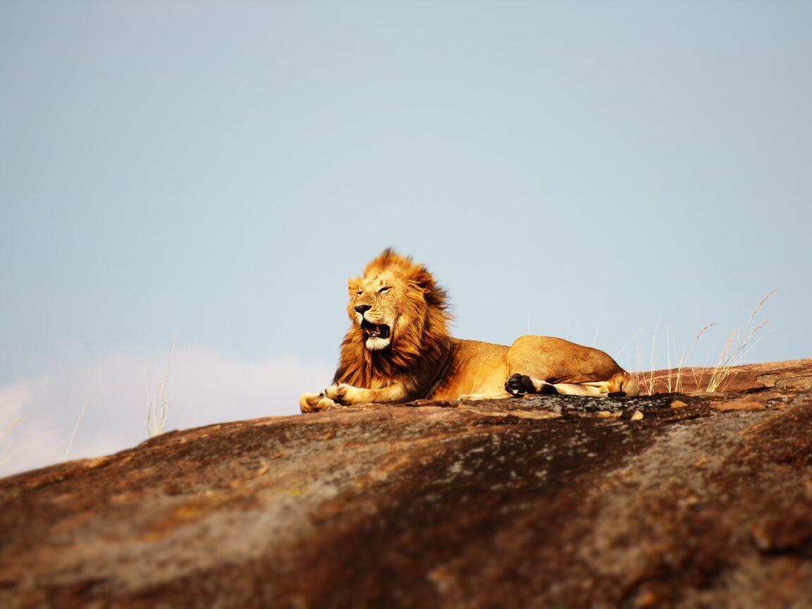 lion-open-mouth-nb.jpg