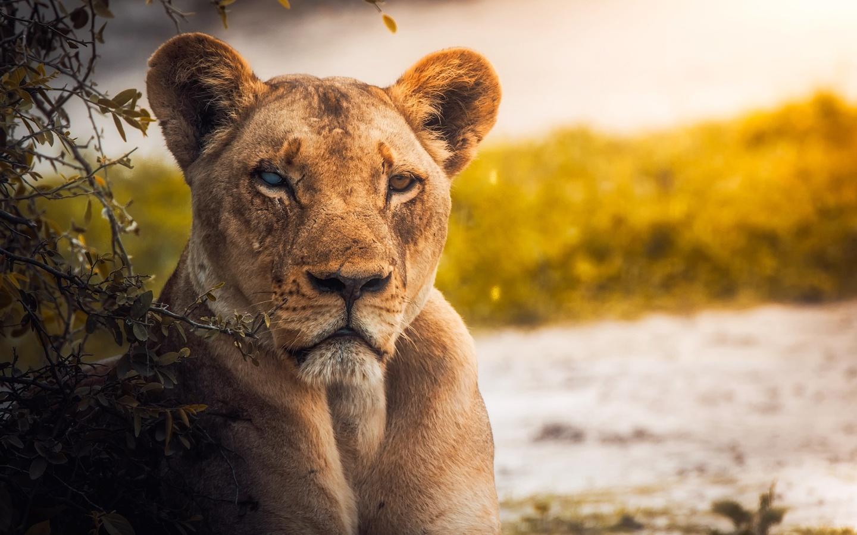 lion-predator-predator-92.jpg