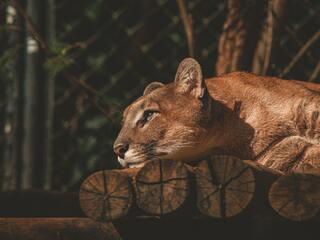 lion-resting-fv.jpg