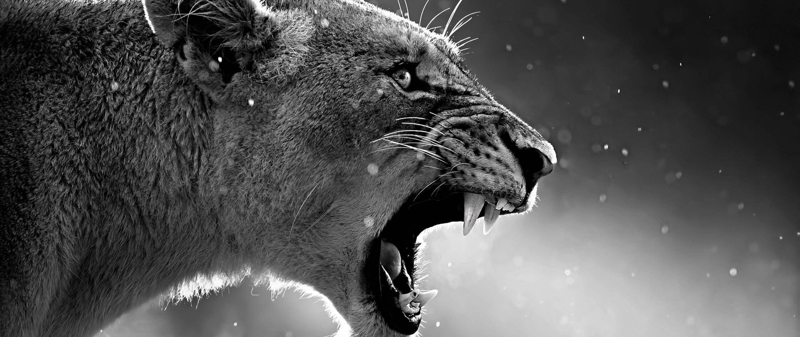 lion-roaring.jpg