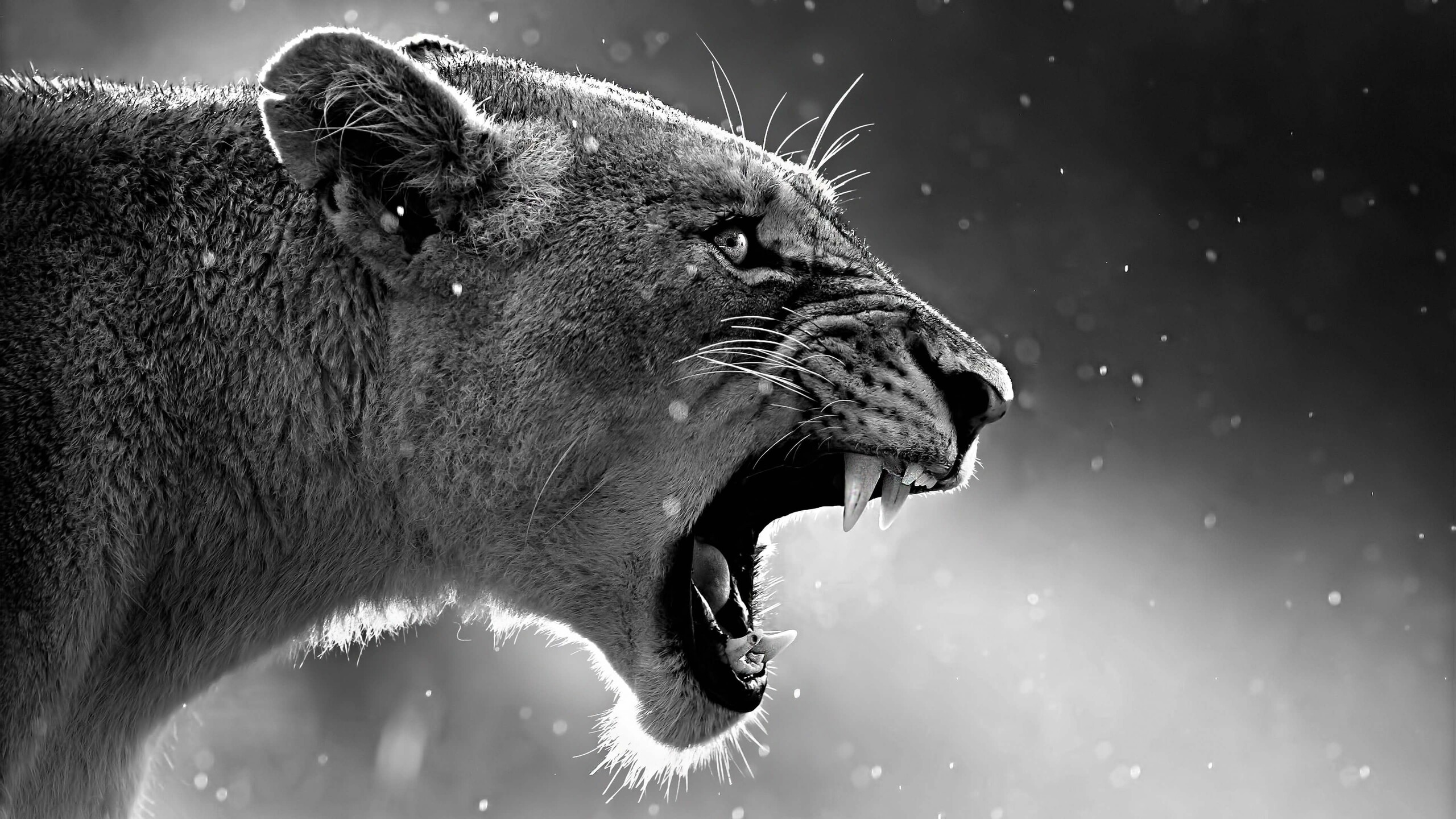 2560x1440 Lion Roaring 1440P Resolution HD 4k Wallpapers ...