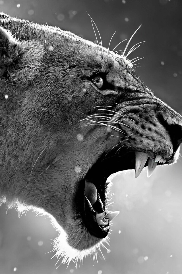 640x960 Lion Roaring IPhone 4 4S HD 4k Wallpapers Images