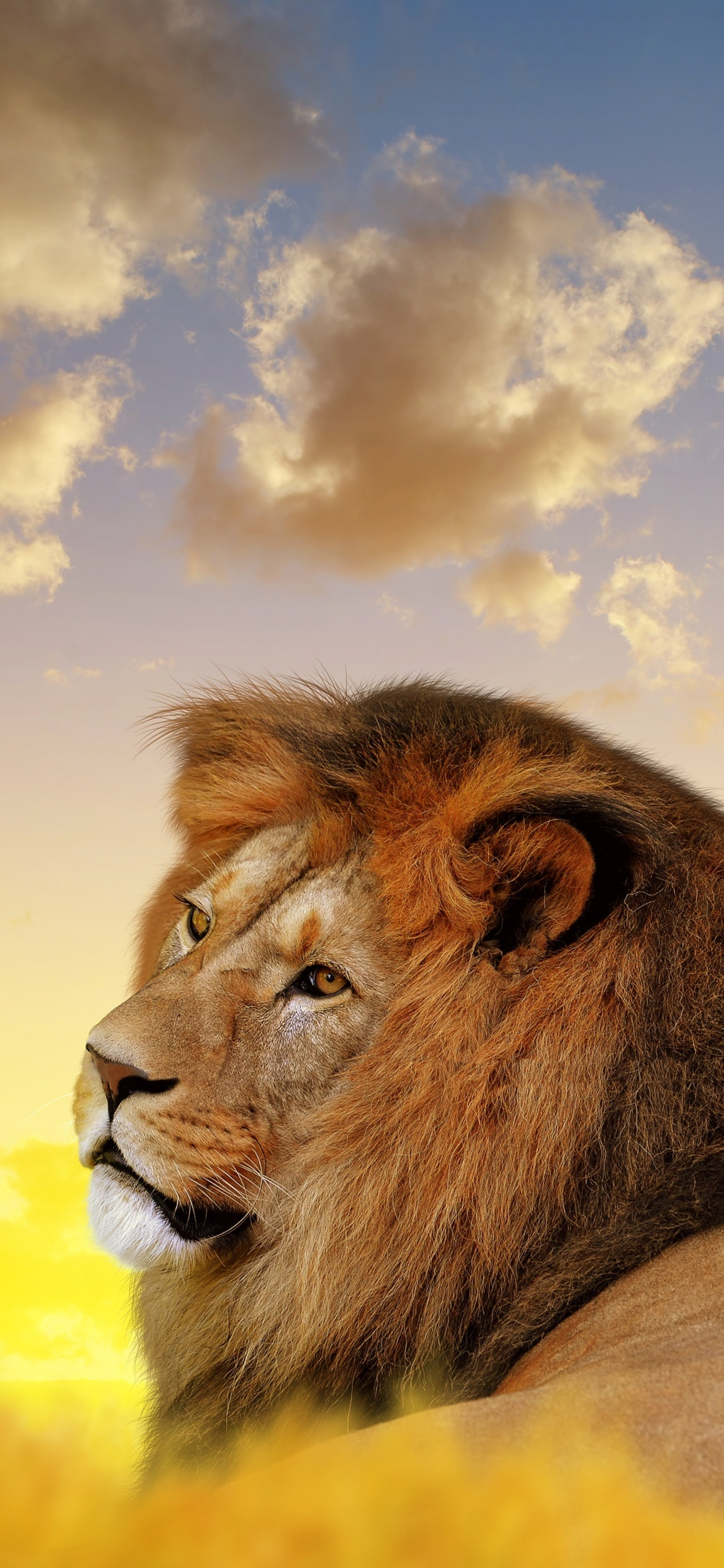 1242x2688 Lion Ultra Hd 4k Iphone Xs Max Hd 4k Wallpapers