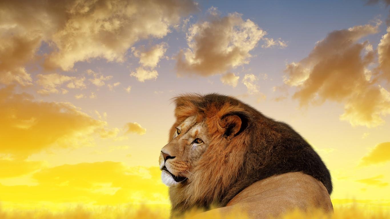 1366x768 Lion Ultra Hd 4k 1366x768 Resolution Hd 4k