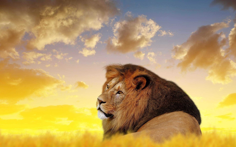 2880x1800 Lion Ultra Hd 4k Macbook Pro Retina Hd 4k Wallpapers