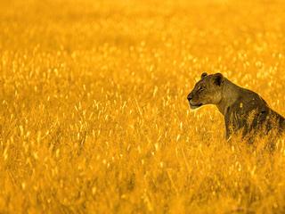 lioness-big-cat-4k-cf.jpg
