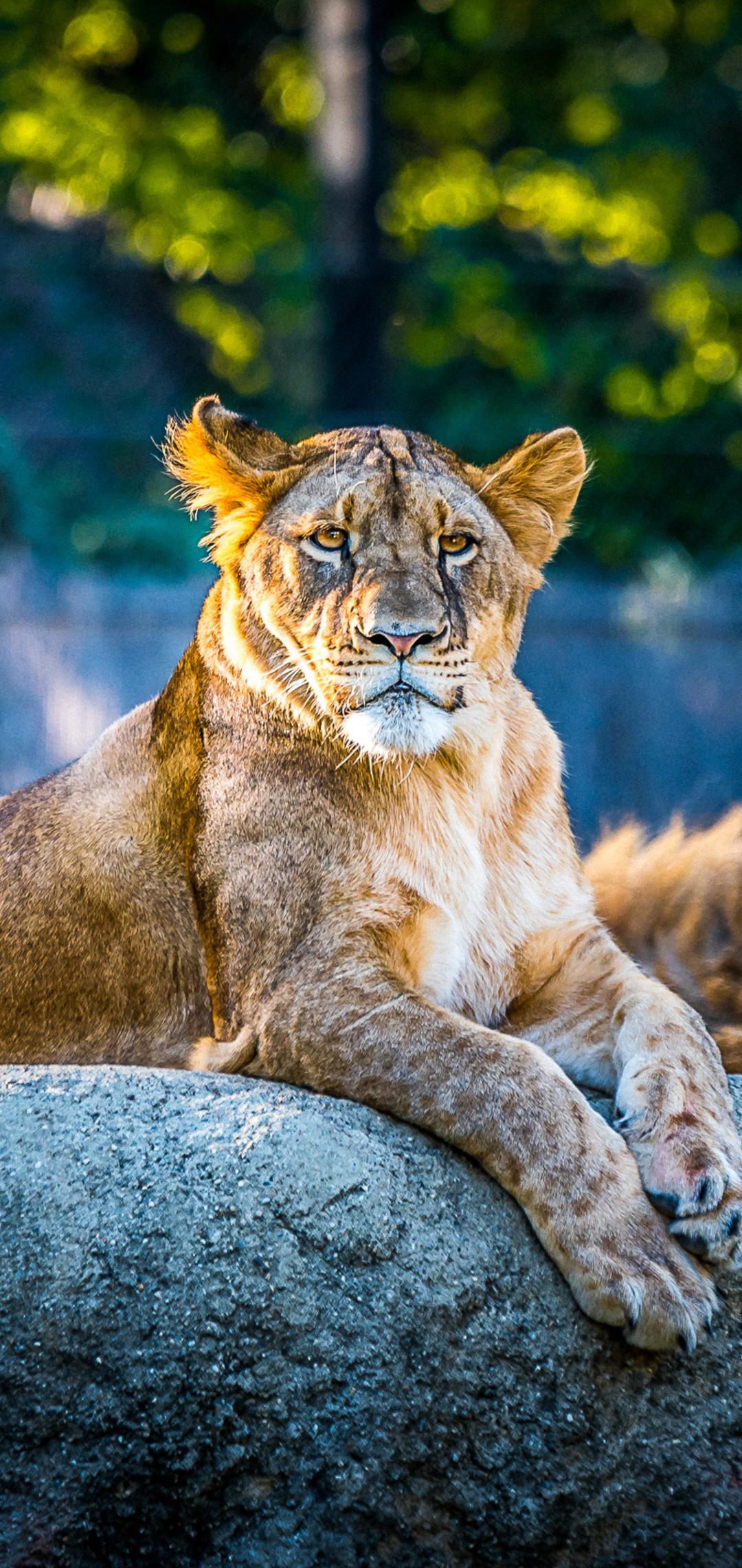 lionesse-lion-predator-wild-animal-4k-ba.jpg