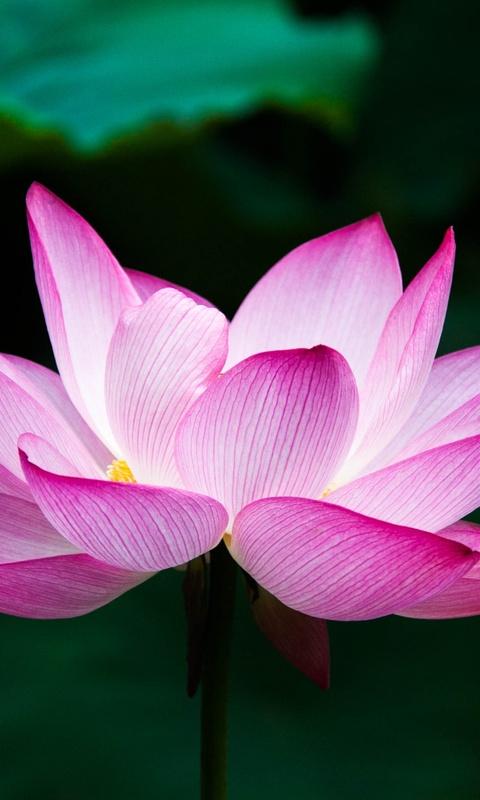 lotus-flower-4k-9p.jpg