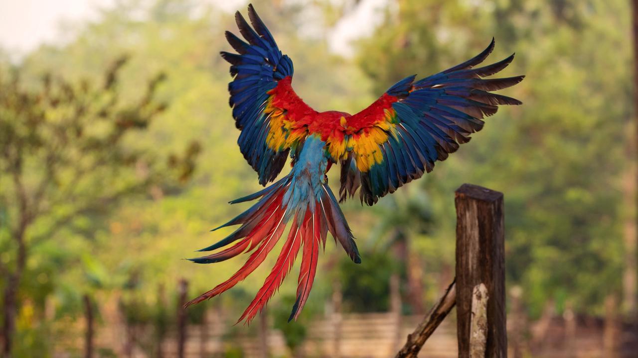 macaw-flight-feathers-i7.jpg
