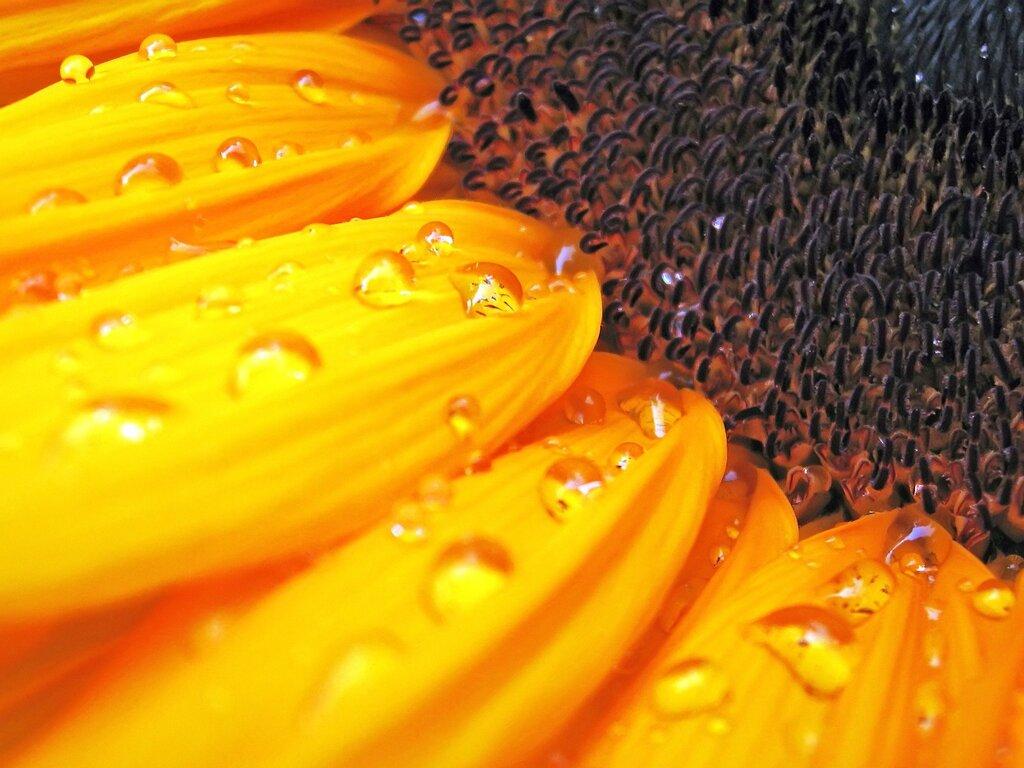 macro-sunflower.jpg