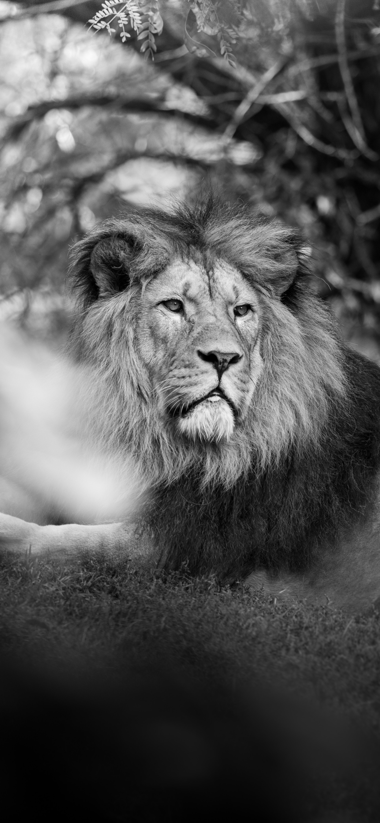 1242x2688 Monochrome Lion 5k Iphone Xs Max Hd 4k Wallpapers