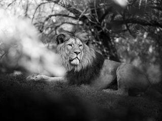 monochrome-lion-5k-ab.jpg