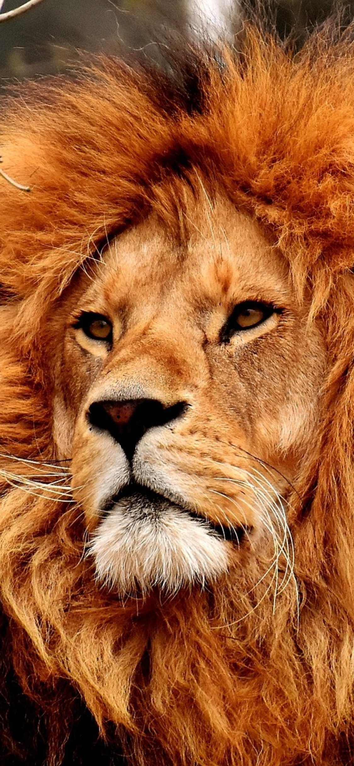 1125x2436 Old Lion Iphone Xs Iphone 10 Iphone X Hd 4k