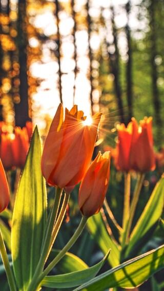 orange-tulips-hd.jpg