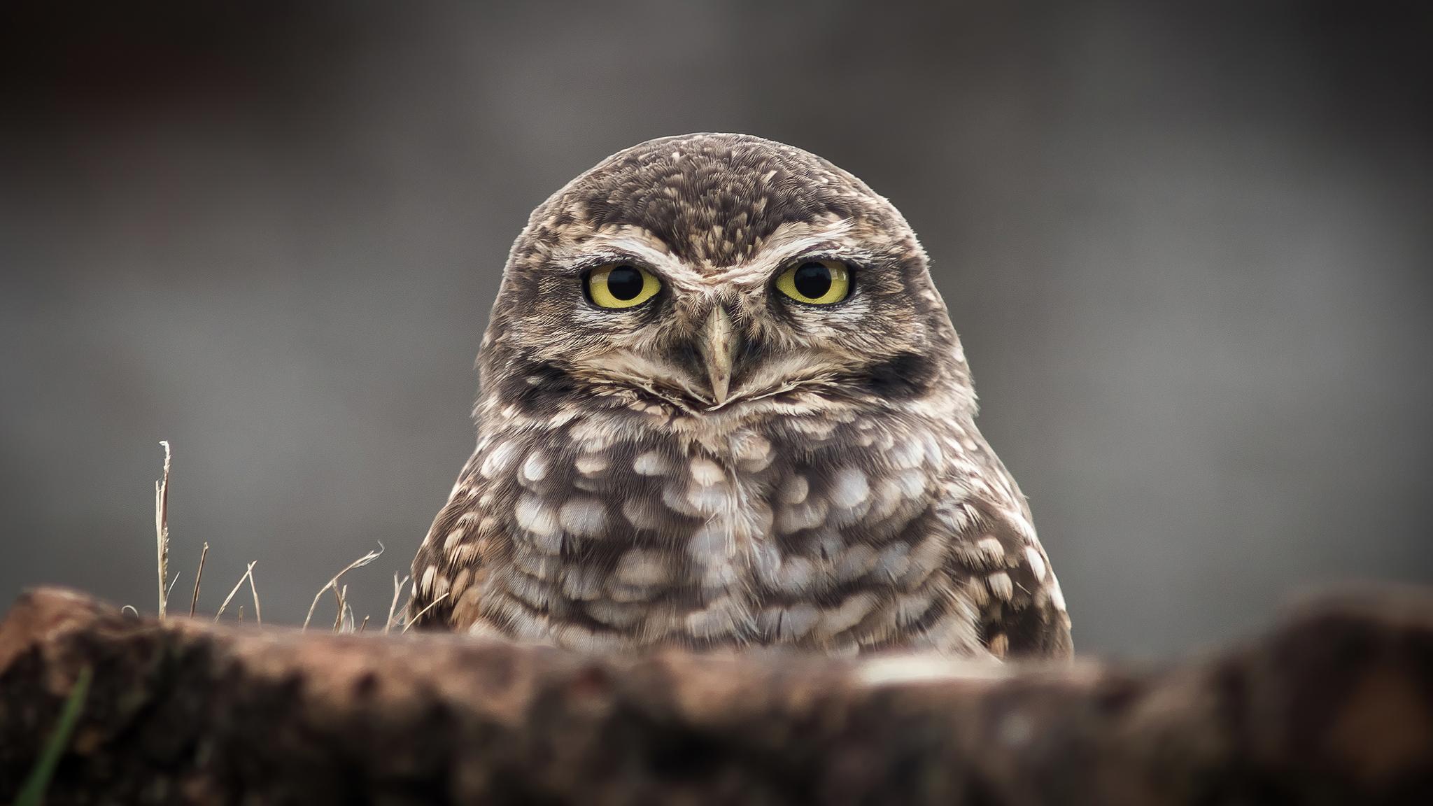 owl-portrait-4k-2p.jpg