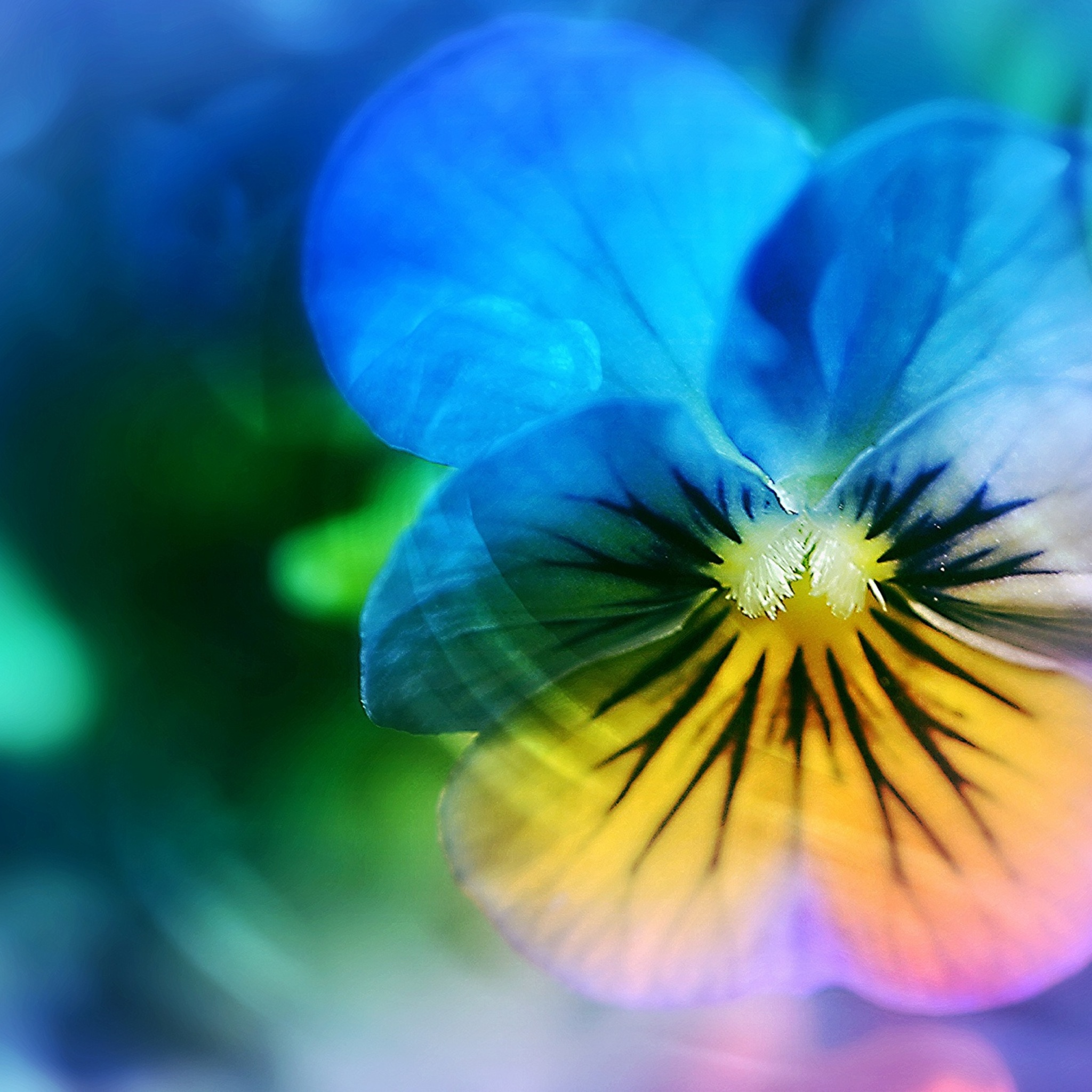 pansy-flower-ap.jpg