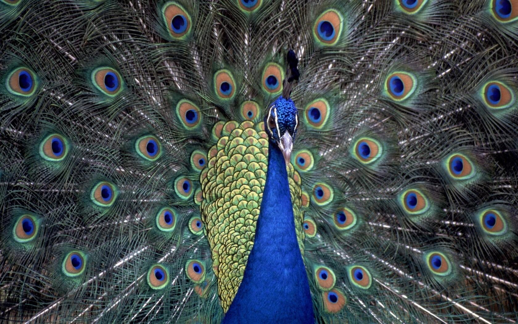 peacocks-hd.jpg