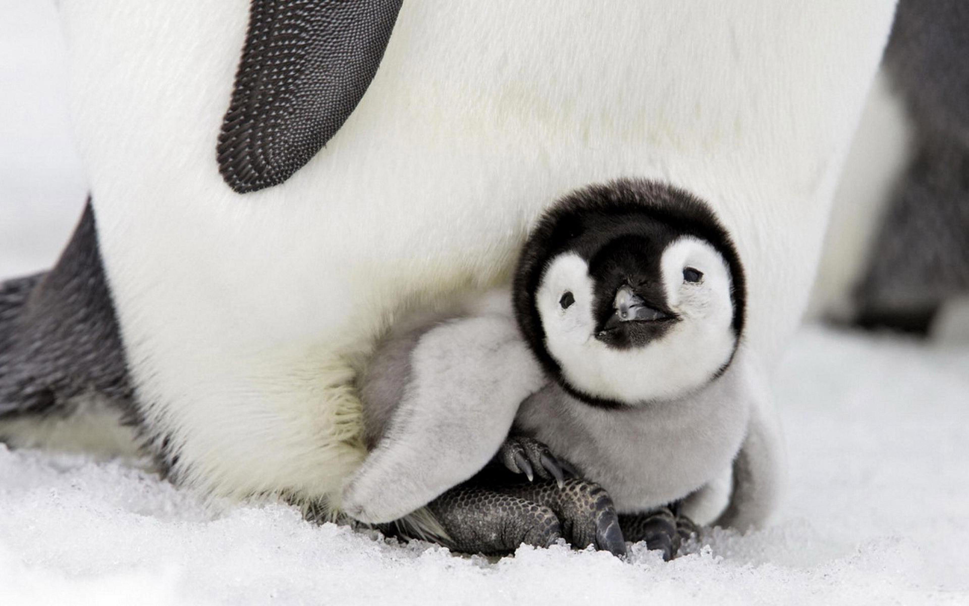 penguin-baby-4k.jpg