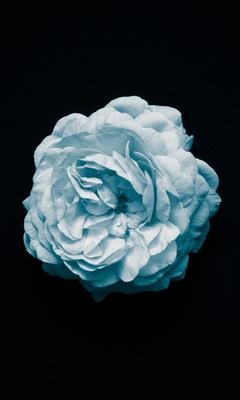 petal-flower-oled-4k-1n.jpg
