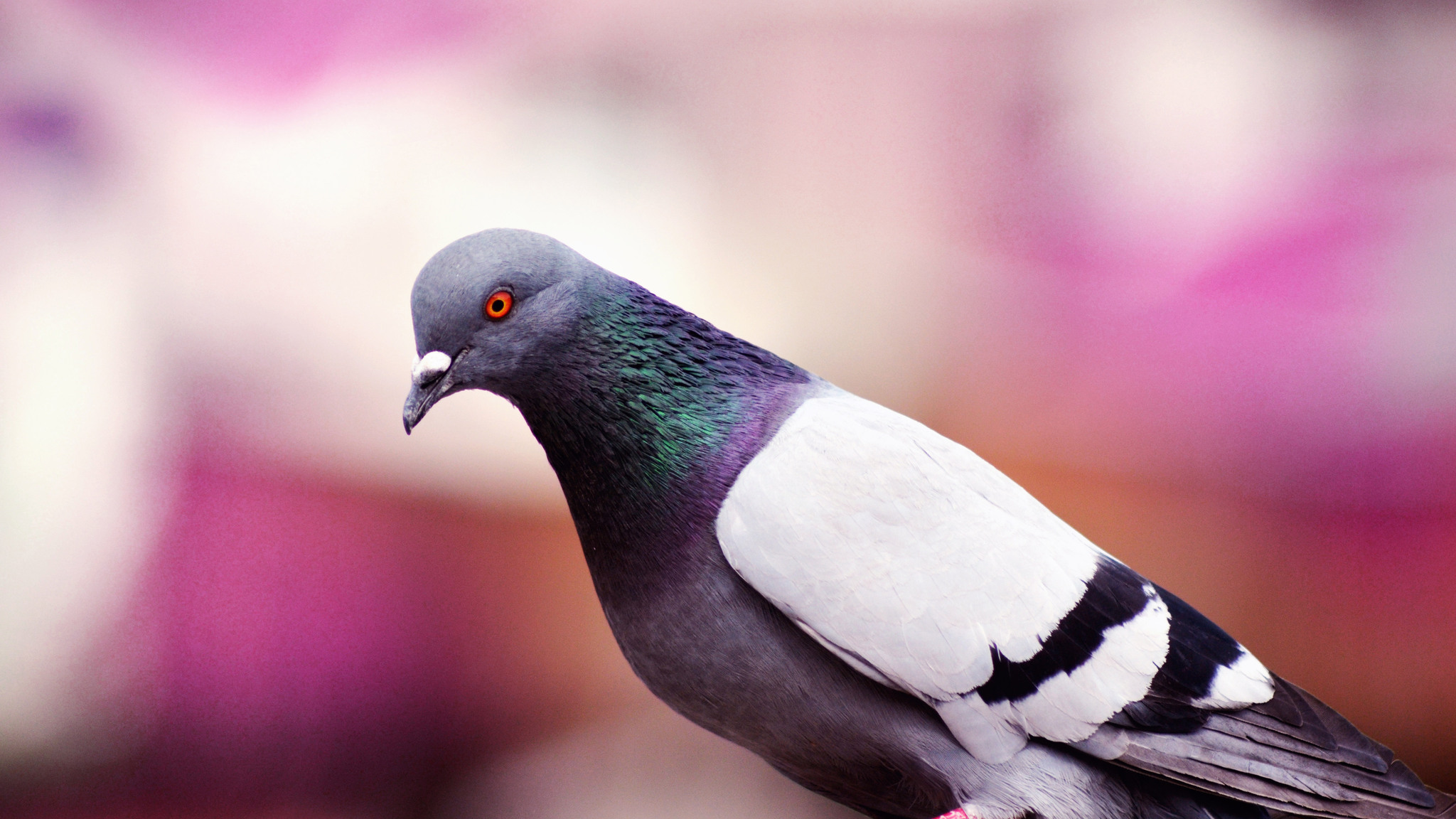 2048x1152 pigeon 2048x1152 resolution hd 4k wallpapers, images