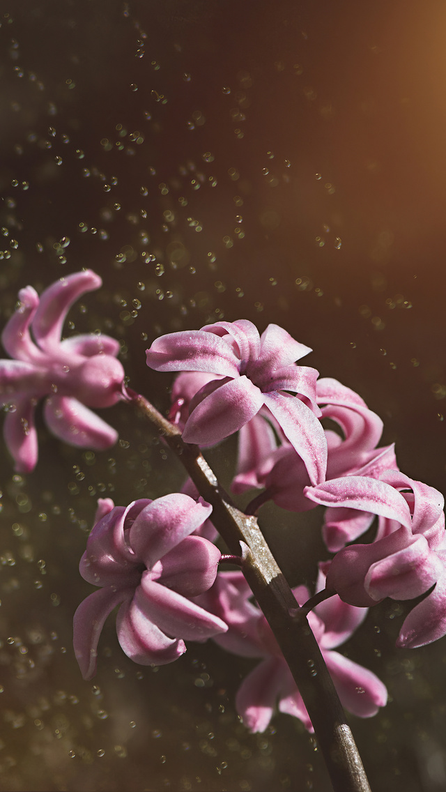 pink-color-hyacinth-flowers-5k-le.jpg